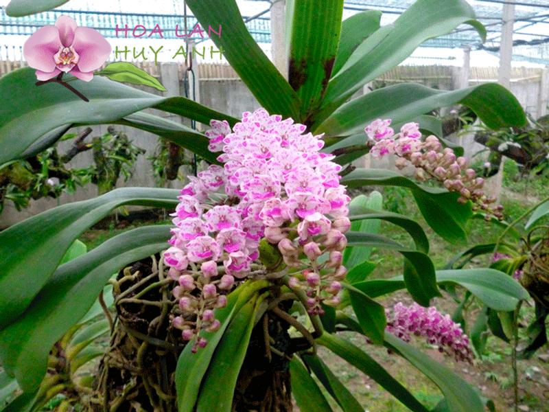 Hoa lan đai châu 5