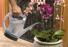 Tưới nước cho lan tại nhà