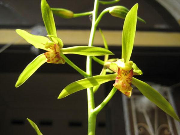 hoa lan kiếm đẹp, rất bền