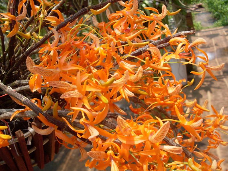 10 loại hoa lan rừng đẹp và hiếm nhất
