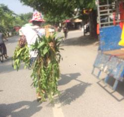 Lan rừng Tây Bắc xuống phố Hà Nội