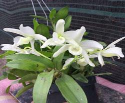 Hoa lan trắng nào quý hiếm