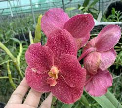 5 loại lan đẹp hoa quanh năm