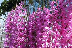Những loại hoa lan đang nụ xuân kỷ hợi