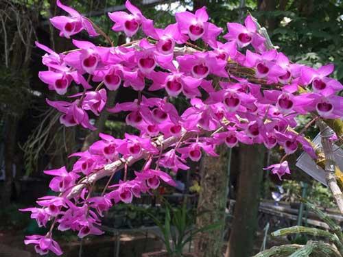 hình ảnh hoa lan trầm tím