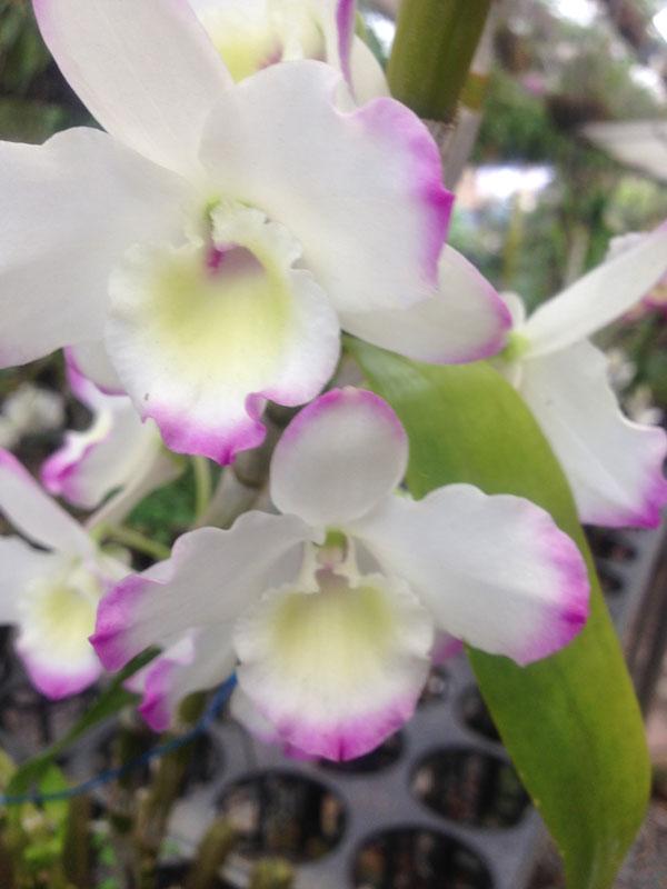 hoa lan huy anh 7