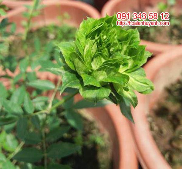 hoa hong xanh 1