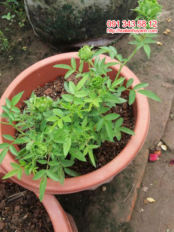 hoa hong xanh 2
