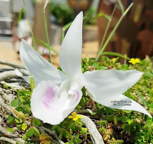 5 cánh trắng thiên hoa