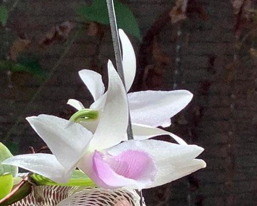 5 cánh trắng tâm linh