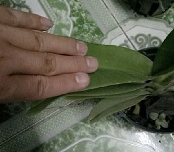 ngọc điểm hoa trắng 2