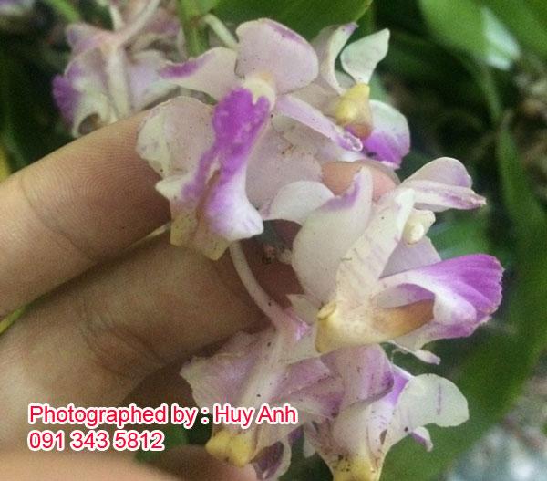 hoa lan tam bảo sắc
