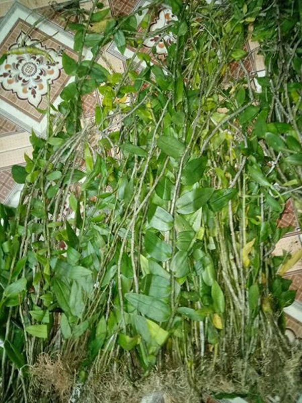 hoa lan rừng tây bắc 2