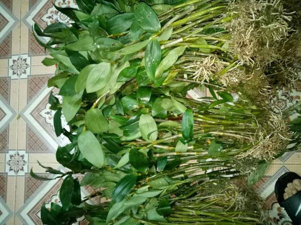 hoa lan rừng tây bắc 5