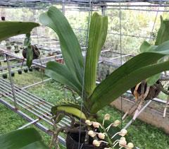 Đai châu rừng trồng thuần, hoa tết