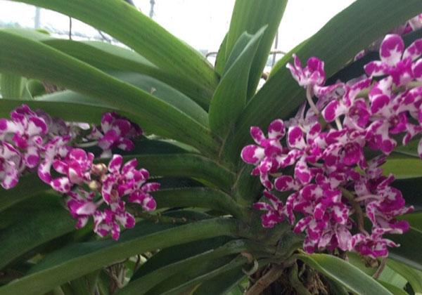 hình hoa lan đai châu đốm hình hoa
