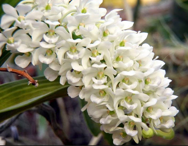 hoa đai châu trắng