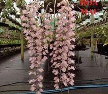 Thiên cung hồng phấn