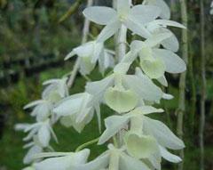Hạc vỹ đột biến hoa trắng, cây rừng