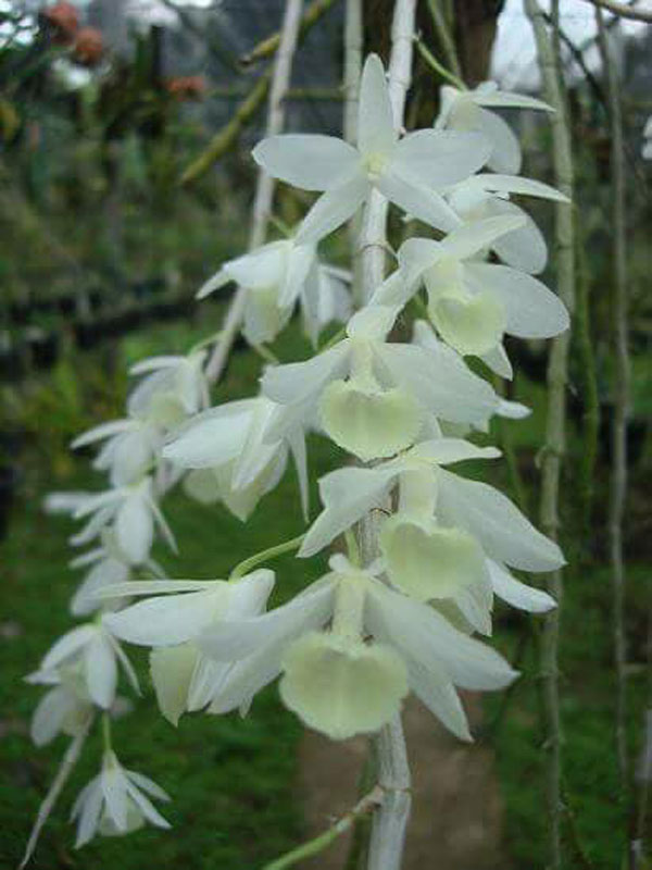 hình hoa hạc vỹ trắng