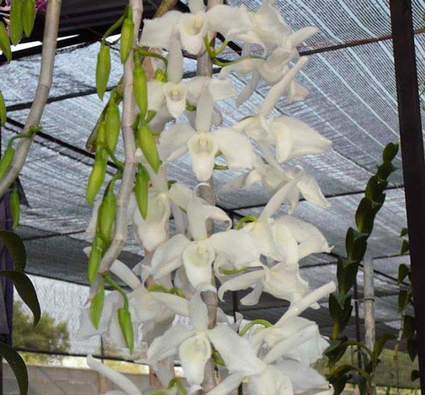 hình hoa hawaii trắng