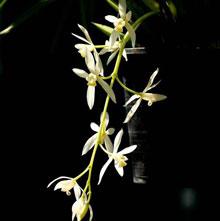 Kiếm xích ngọc hoa trắng