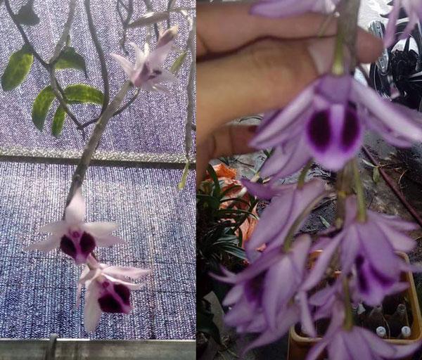 phi điệp trường sơn có nhiều mặt hoa