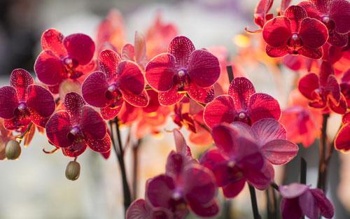 Ảnh hoa lan hồ điệp đẹp