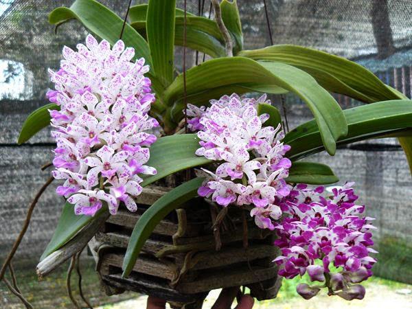 5 loại lan rừng hoa xuân đẹp