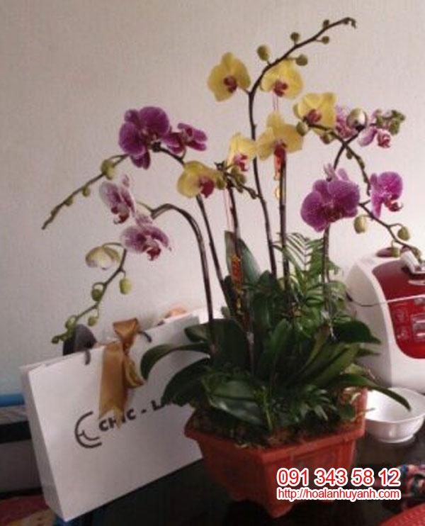 hoa lan chúc mứng hồ điệp 3