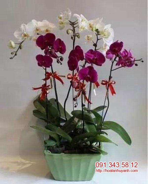 hoa lan chúc mứng hồ điệp 4