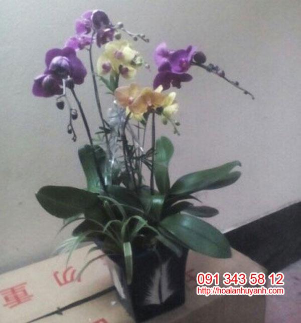 hoa lan chúc mứng hồ điệp 5