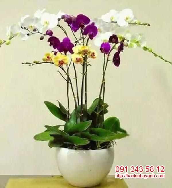 hoa lan chúc mứng hồ điệp 7