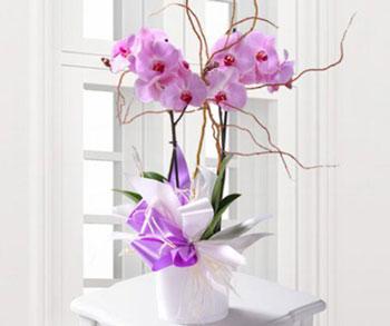 hoa lan hồ điệp noel 1