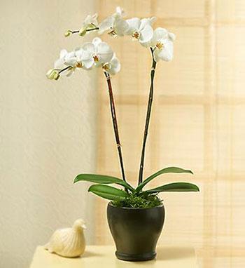 hoa lan hồ điệp noel 2