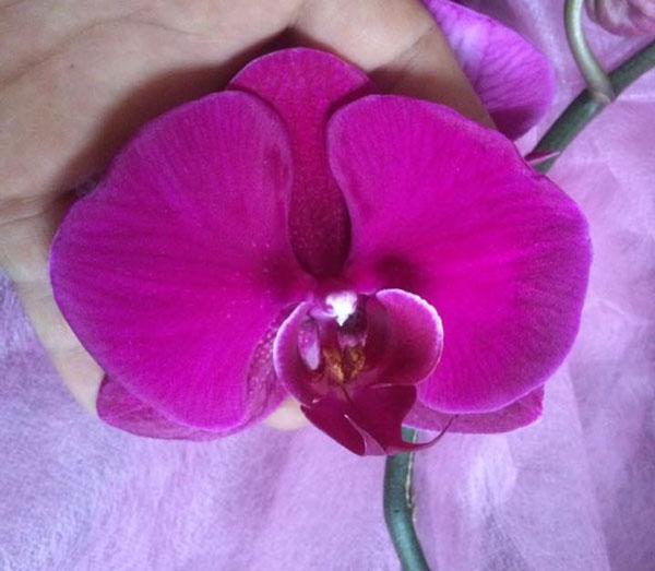 hoa hồ điệp tết 1