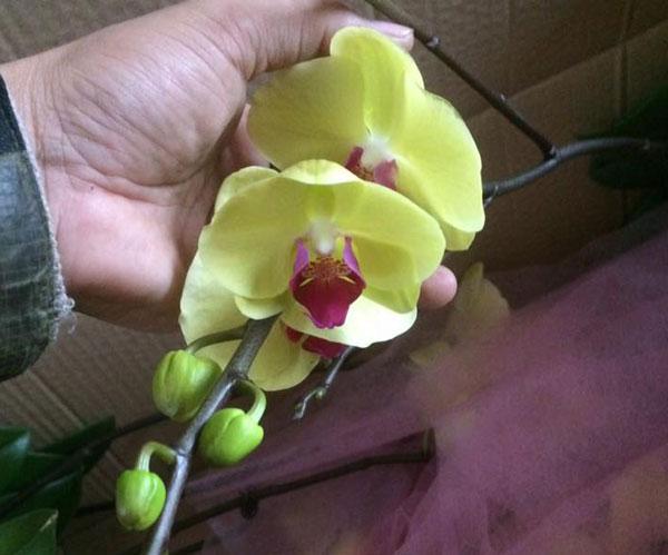 hoa hồ điệp tết 4