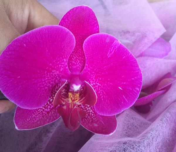 hoa hồ điệp tết 5