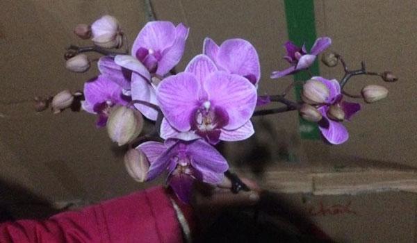 hoa hồ điệp tết loại bông chùm 1