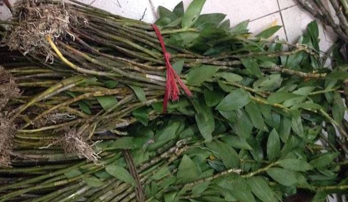 kim thoa rừng 1
