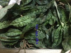 Hài jacki xanh (lá trơn)