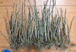Hoàng thảo kèn hàng rừng