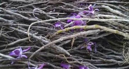 hoàng thảo kèn rừng 2