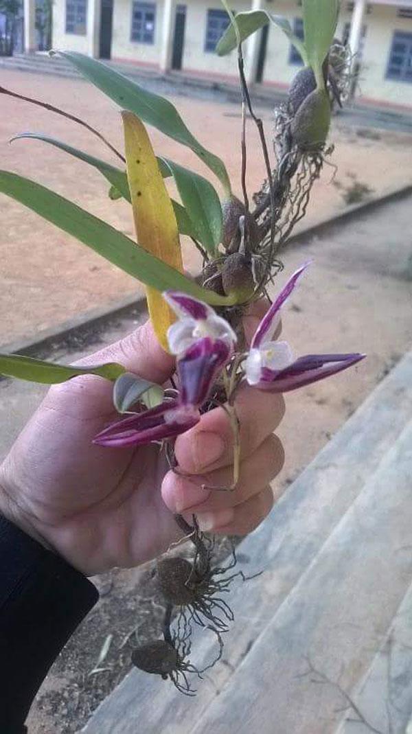lan lọng hoa tím