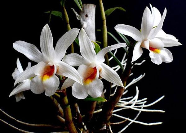 hoa lan đại bạch hạc