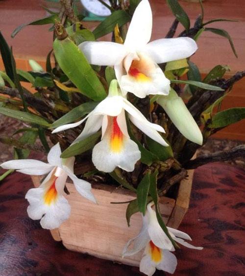 hoa lan đại bạch hạc 1