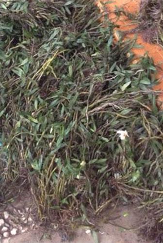hoa lan đại bạch hạc 2