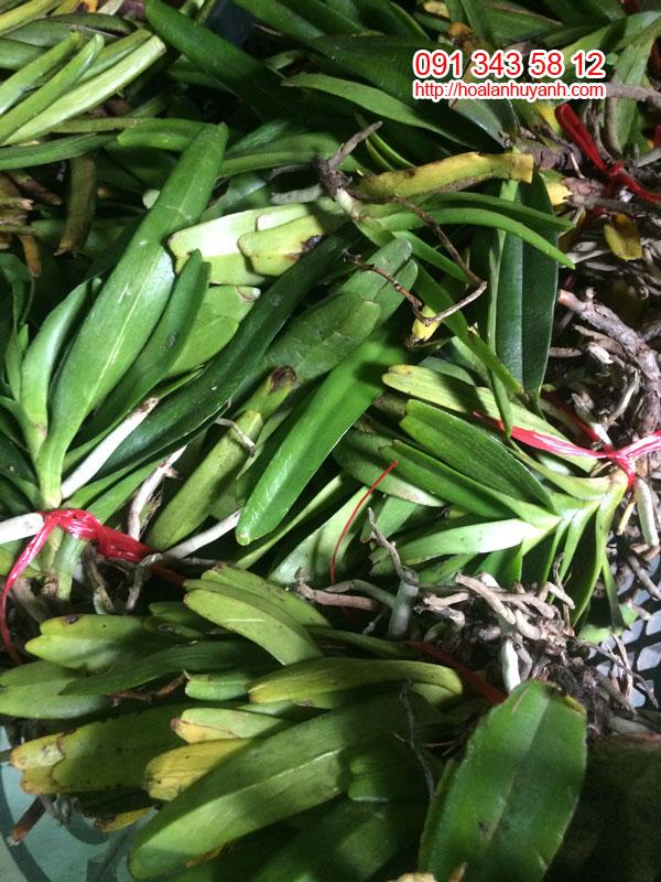 lan rừng bạch nhạn 1