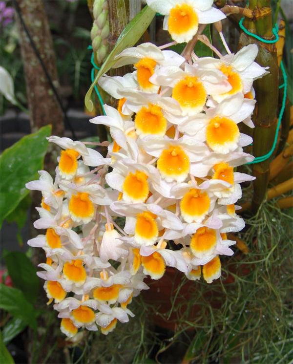 hình hoa kiều vàng