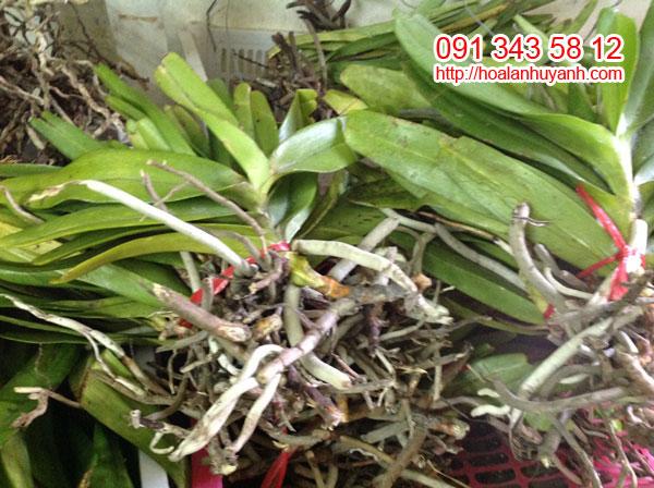 lan rừng bạch nhạn